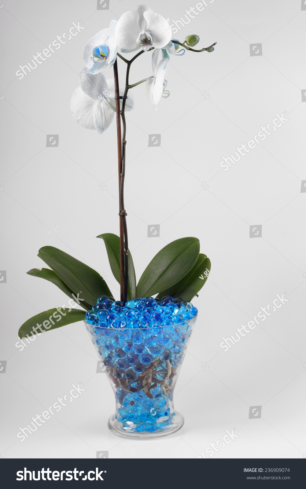Beautiful flowers orchids vases hydrogel stock photo 236909074 beautiful flowers orchids in vases with hydrogel reviewsmspy
