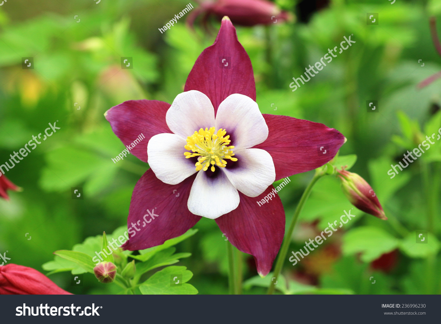 Columbine Flower Budscloseup Purple White Columbine Stock Photo