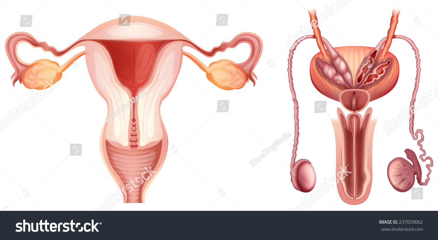 Male Female Reproductive Systems On White Stock Vector 237059062