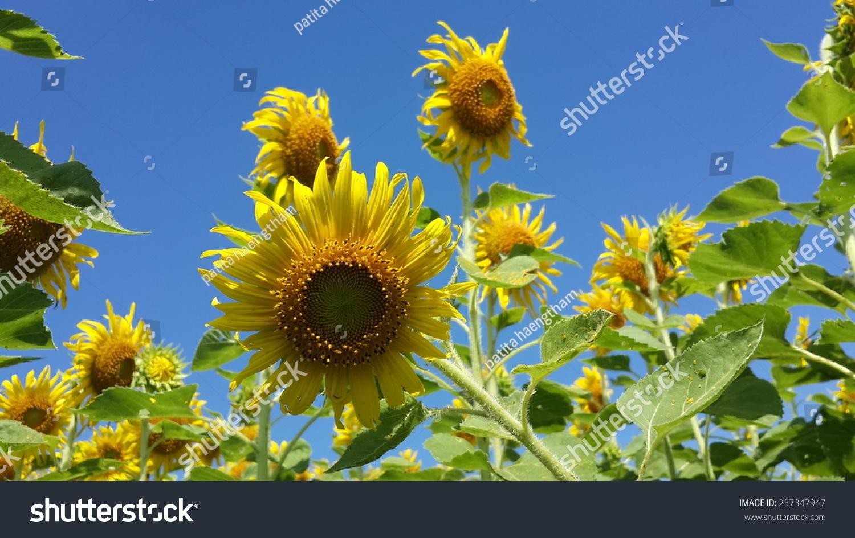 sunflowers flowers yellow background wallpaper nature stock photo
