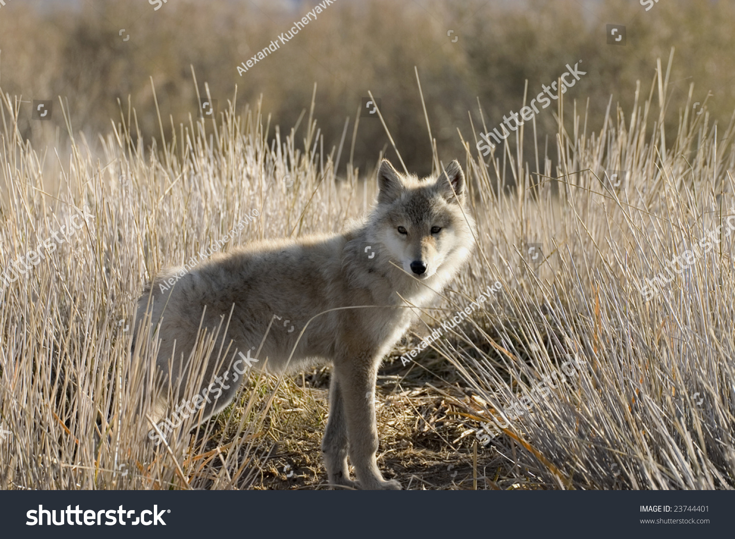 Young Wolf Steppe Mongolia Stock Photo 23744401 - Shutterstock