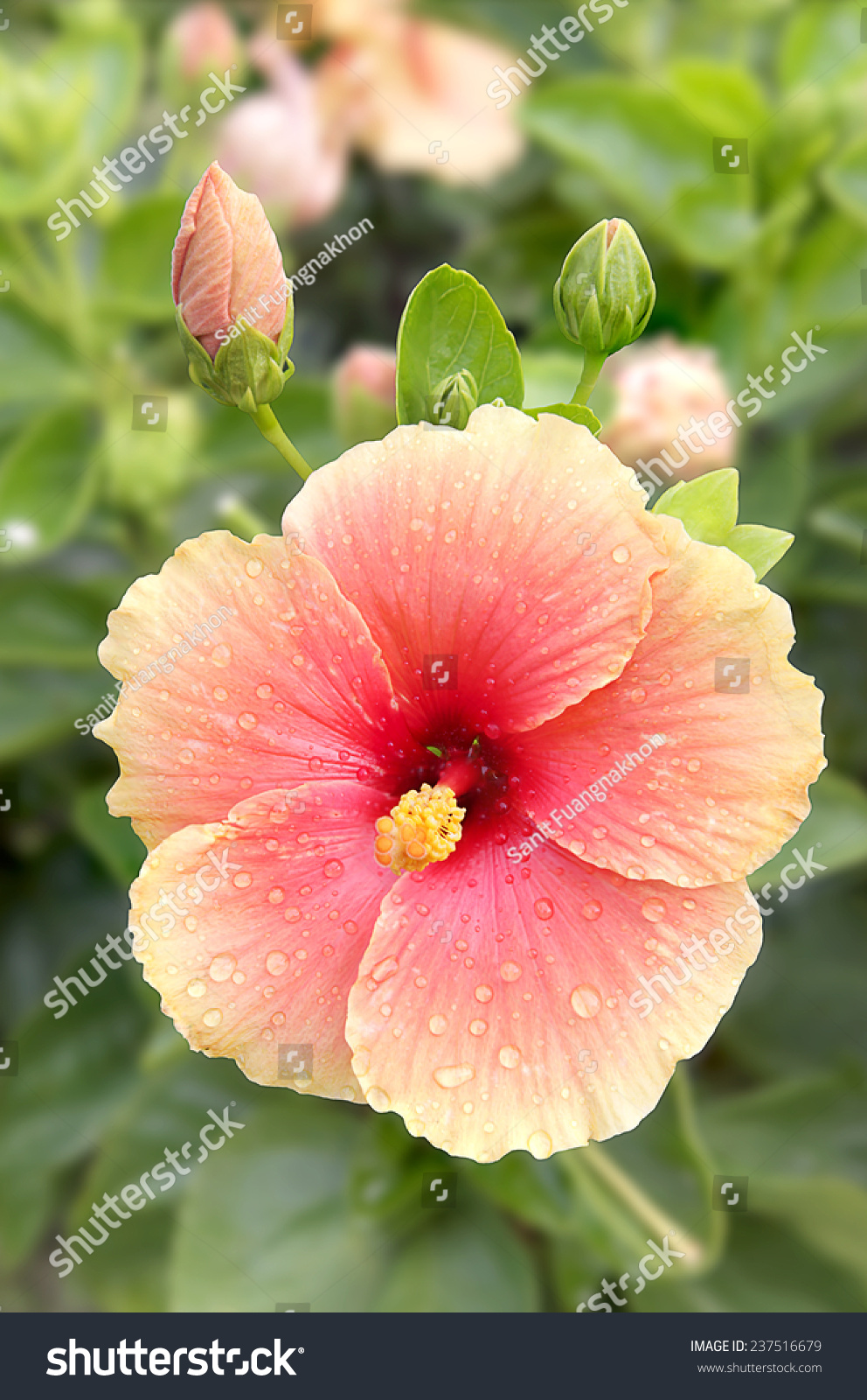 Big Hibiscus Flower On Tree Morning Stock Photo Edit Now 237516679
