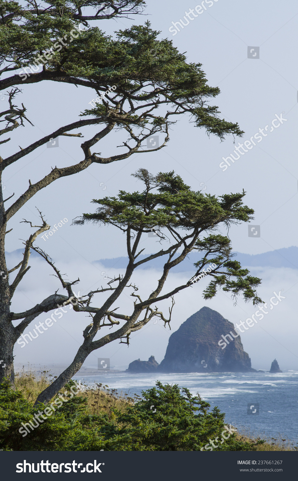 coastal sitka spruce - photo #23