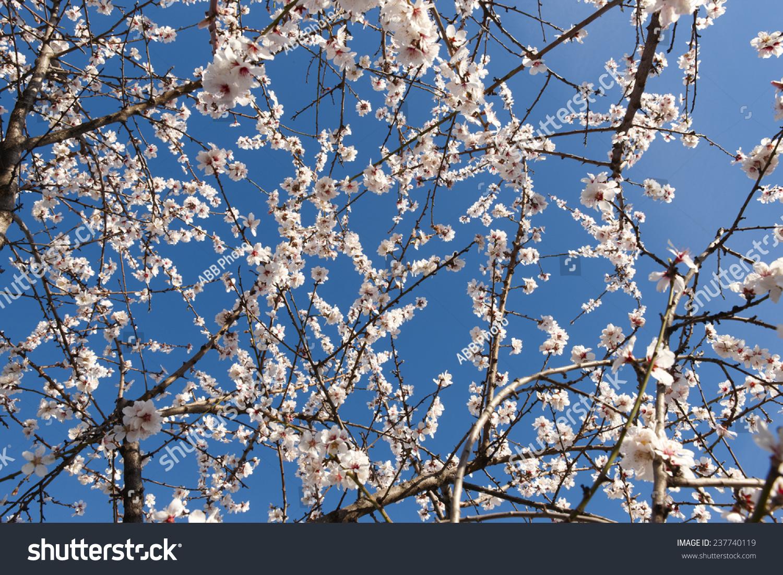 Almond flowers branch with blue sky spring background ez canvas izmirmasajfo