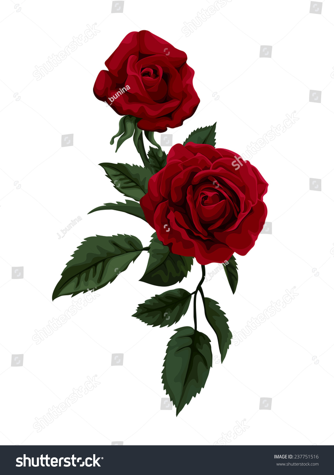 Beautiful Red Rose Isolated On White Vector 237751516 – Greeting Cards and Invitations