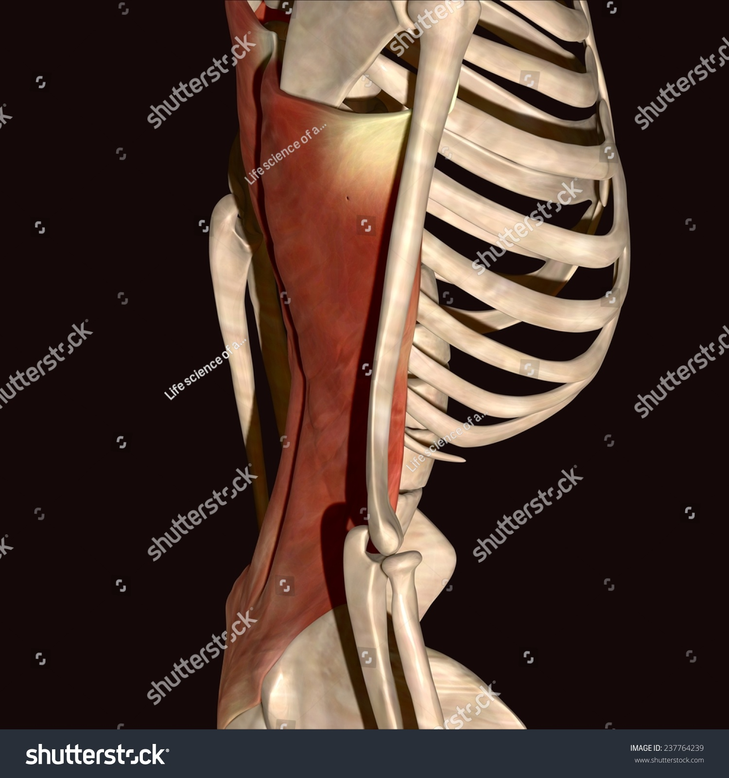 Man Muscles Anatomy Side View Stock Illustration 237764239 ...