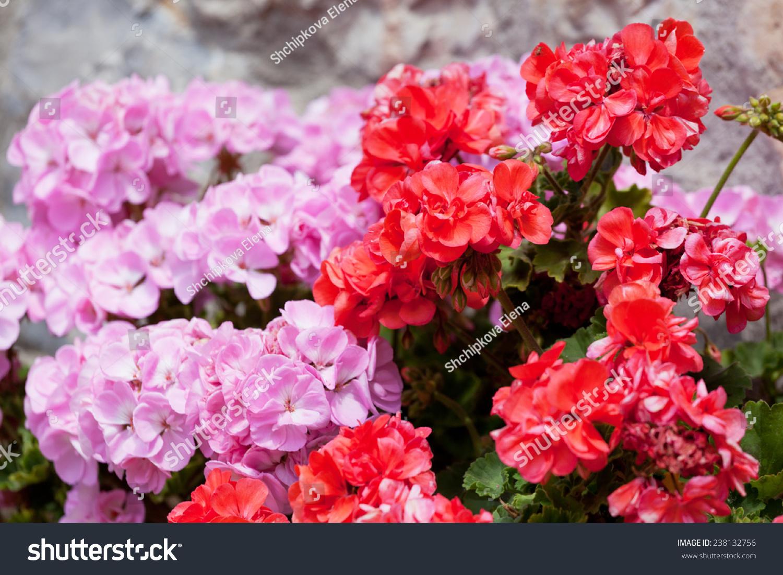 Flowers Red Pink Geranium Close Stock Photo 238132756 ...