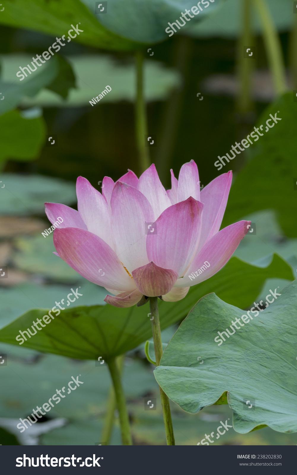 Lotus flower botanical name image collections flower wallpaper hd lotus flower bloom nelumbo nucifera botanical stock photo royalty lotus flower in bloom nelumbo nucifera is izmirmasajfo