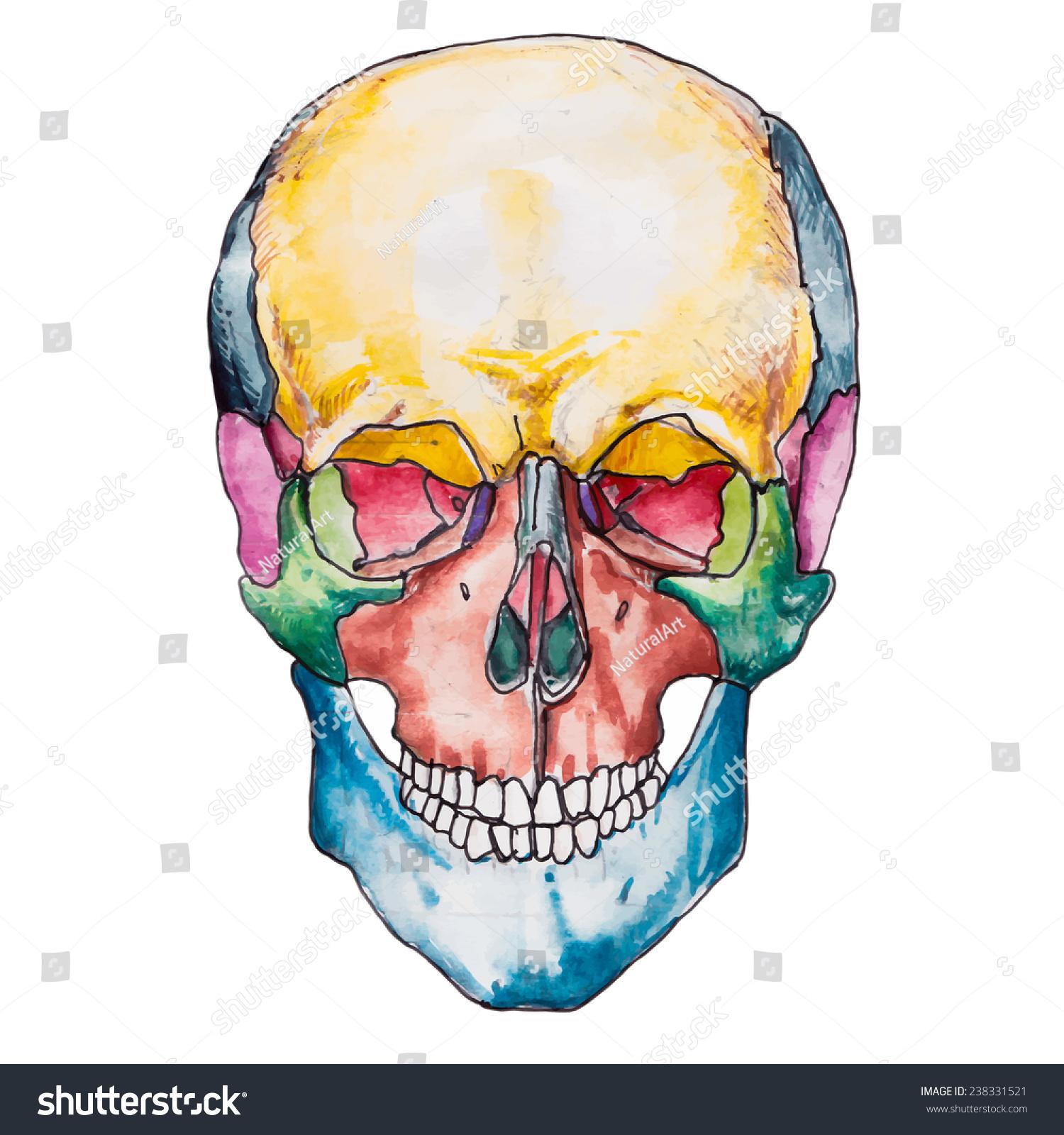 Bones Human Skull Skull Vector Illustration Stock Vector (Royalty ...