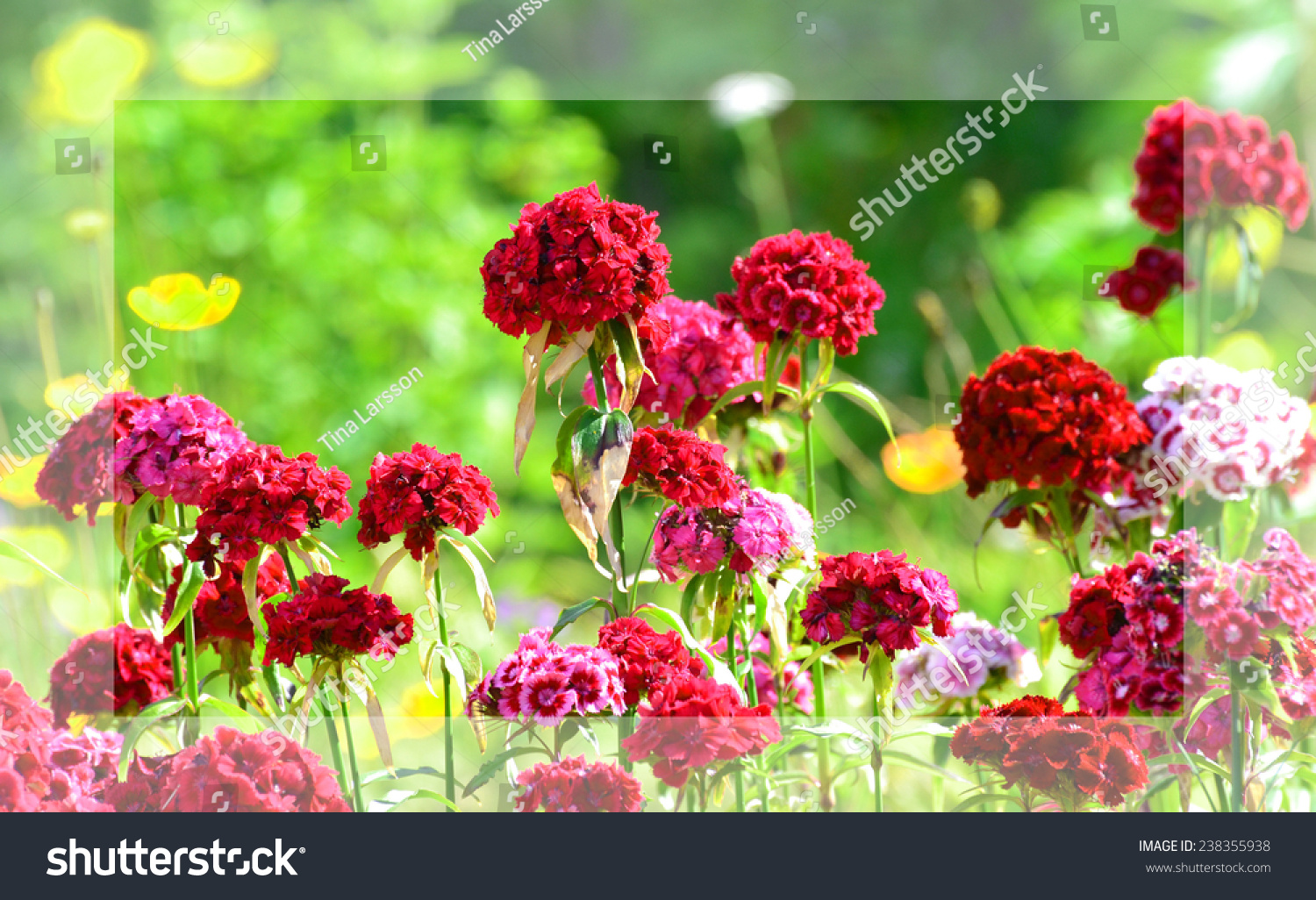 Sweet William Flower Stock Shutterstock