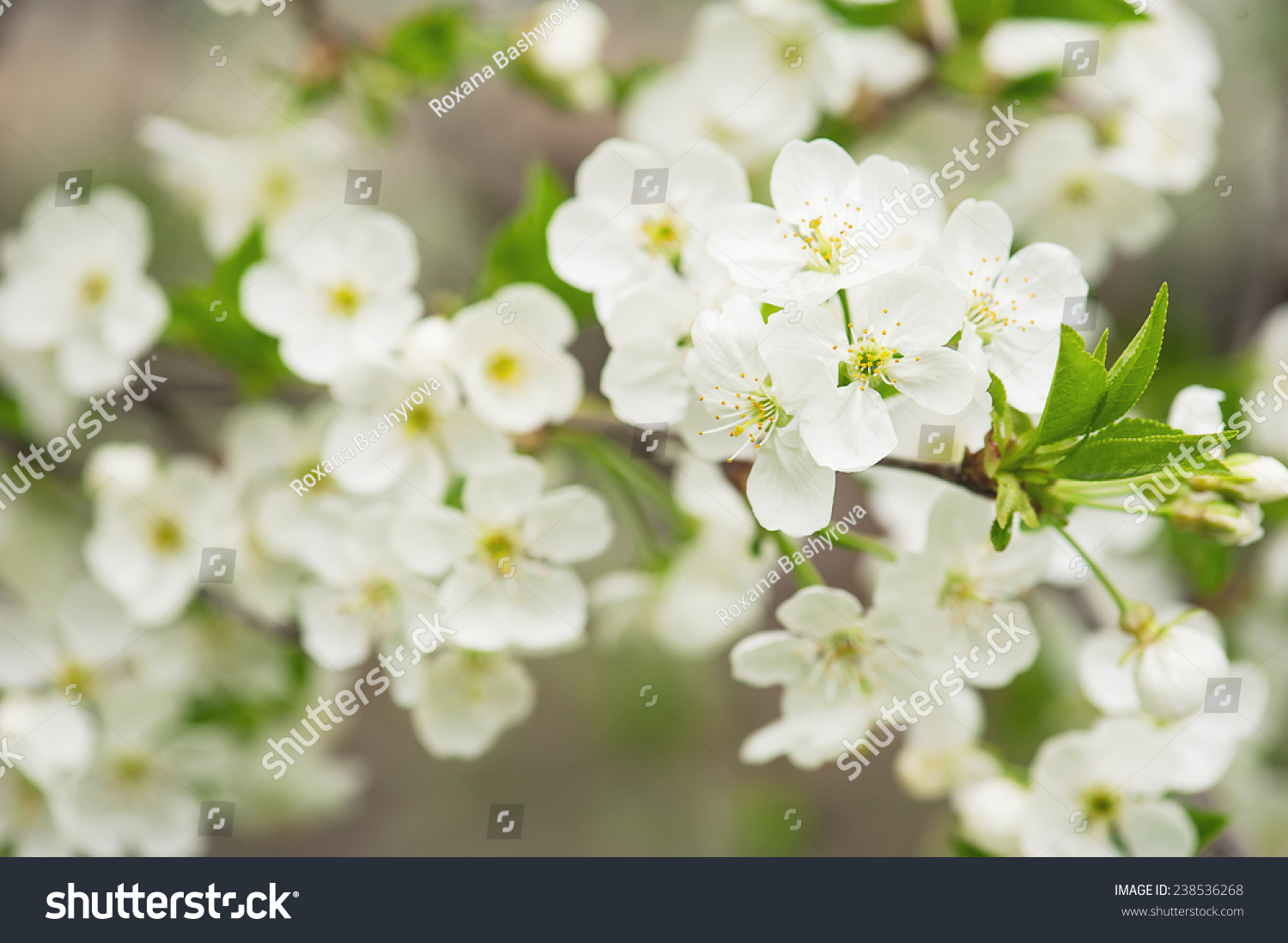 Blossoming Of Cherry Flowers In Spring Time With Green Leaves Macro
