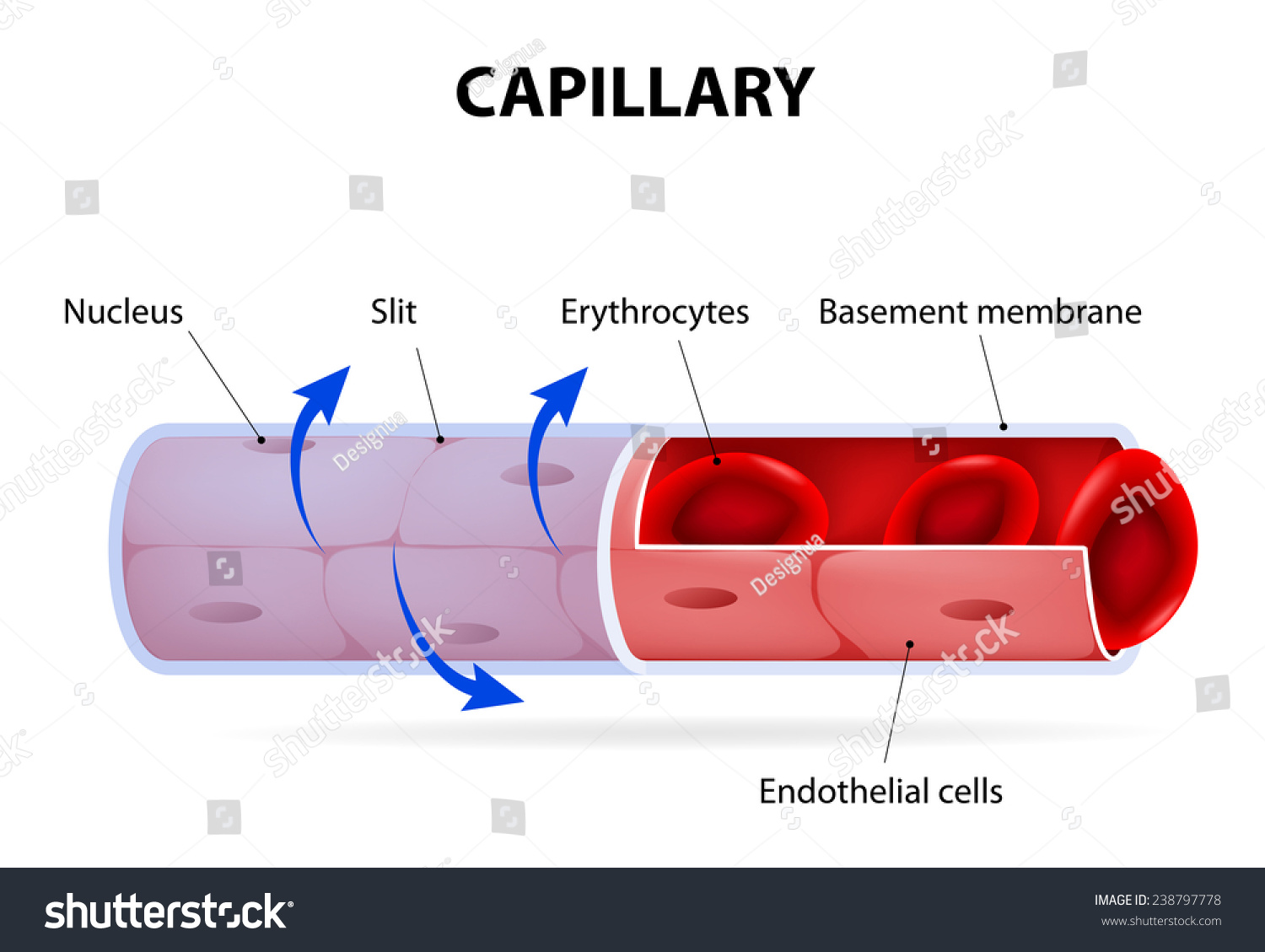 Diagram Of Capillary | Capillary Blood Vessel Labelled Stock Illustration 238797778