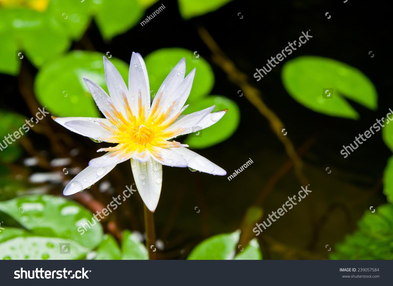 Thai lotus flower water drops after stock photo edit now 239057584 thai lotus flower with water drops after rain izmirmasajfo