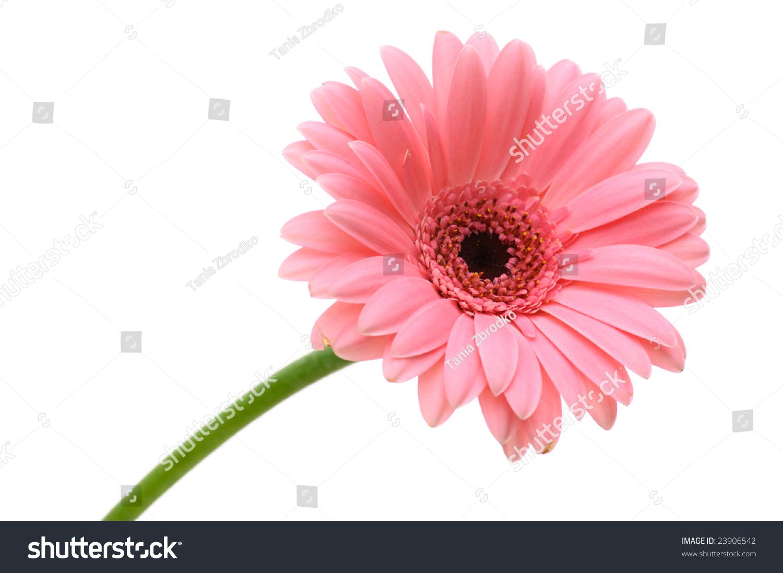 Red daisy flower stem isolated on stock photo edit now 23906542 red daisy flower with stem isolated on white background izmirmasajfo