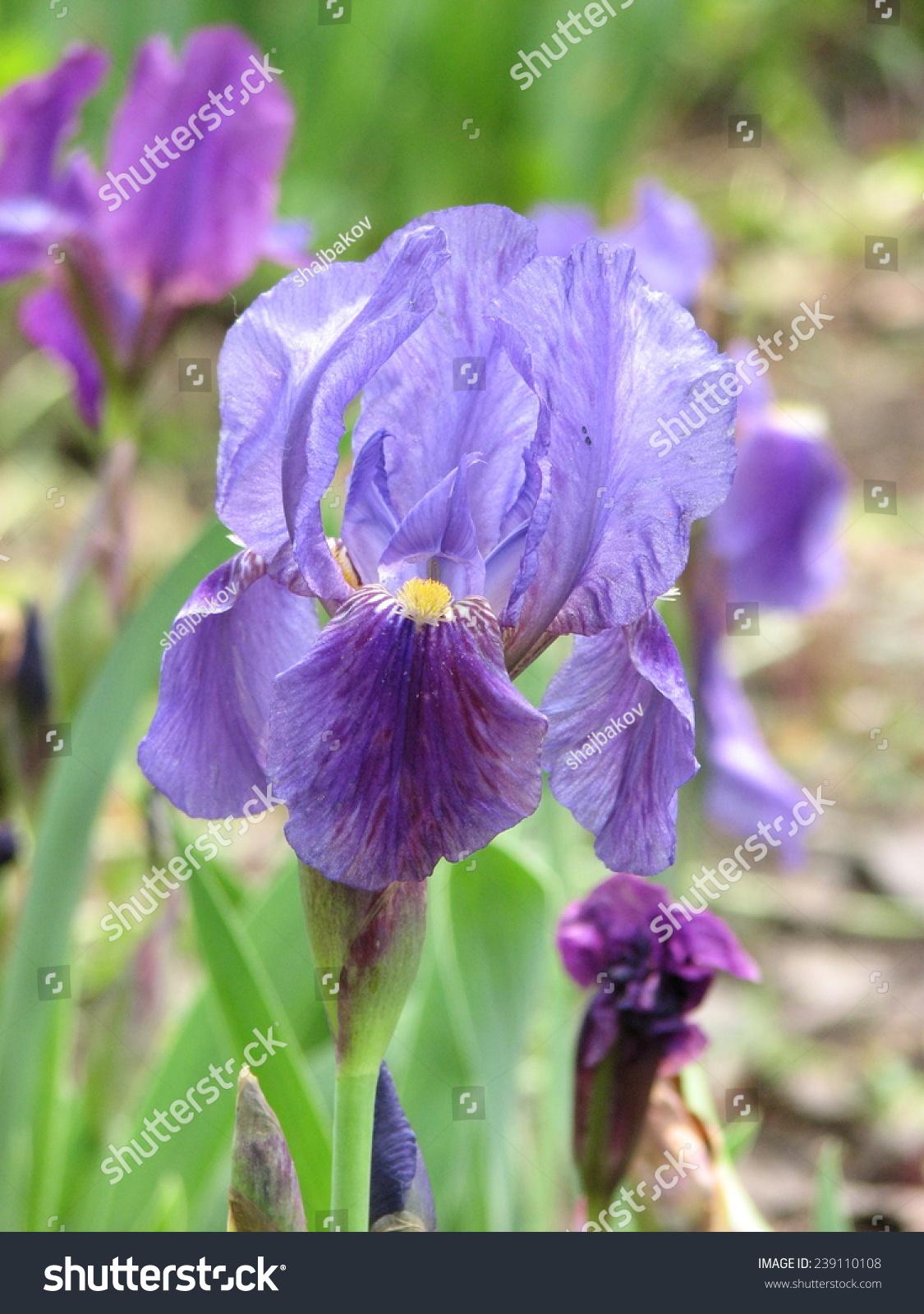Violet Bearded Iris Flower In Botanical Garden Ez Canvas