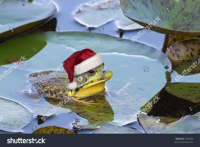 Bullfrog Sitting On Lily Pad Wearing Stock Photo (Royalty Free ...