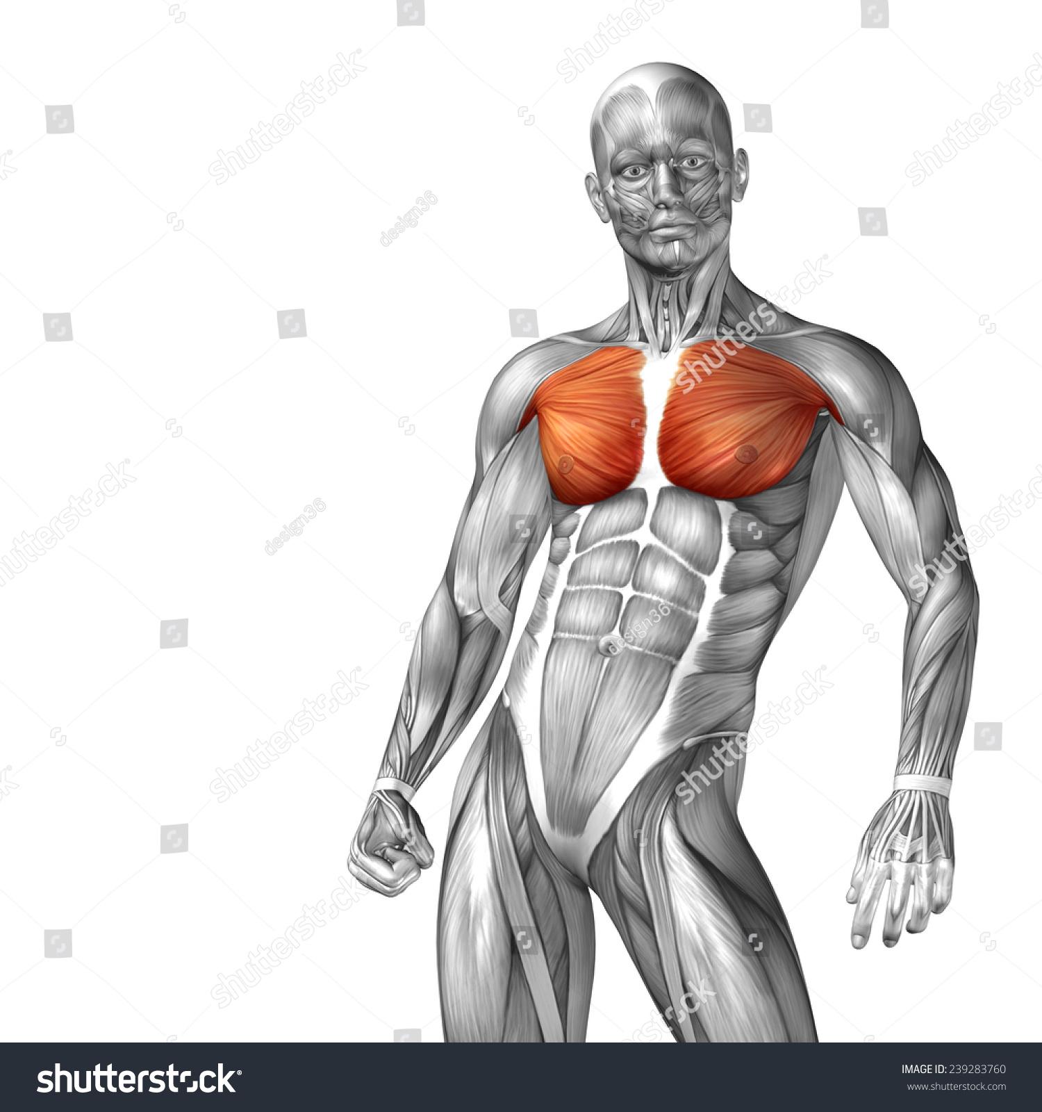 Concept Conceptual 3 D Chest Human Anatomy Stock Illustration ...