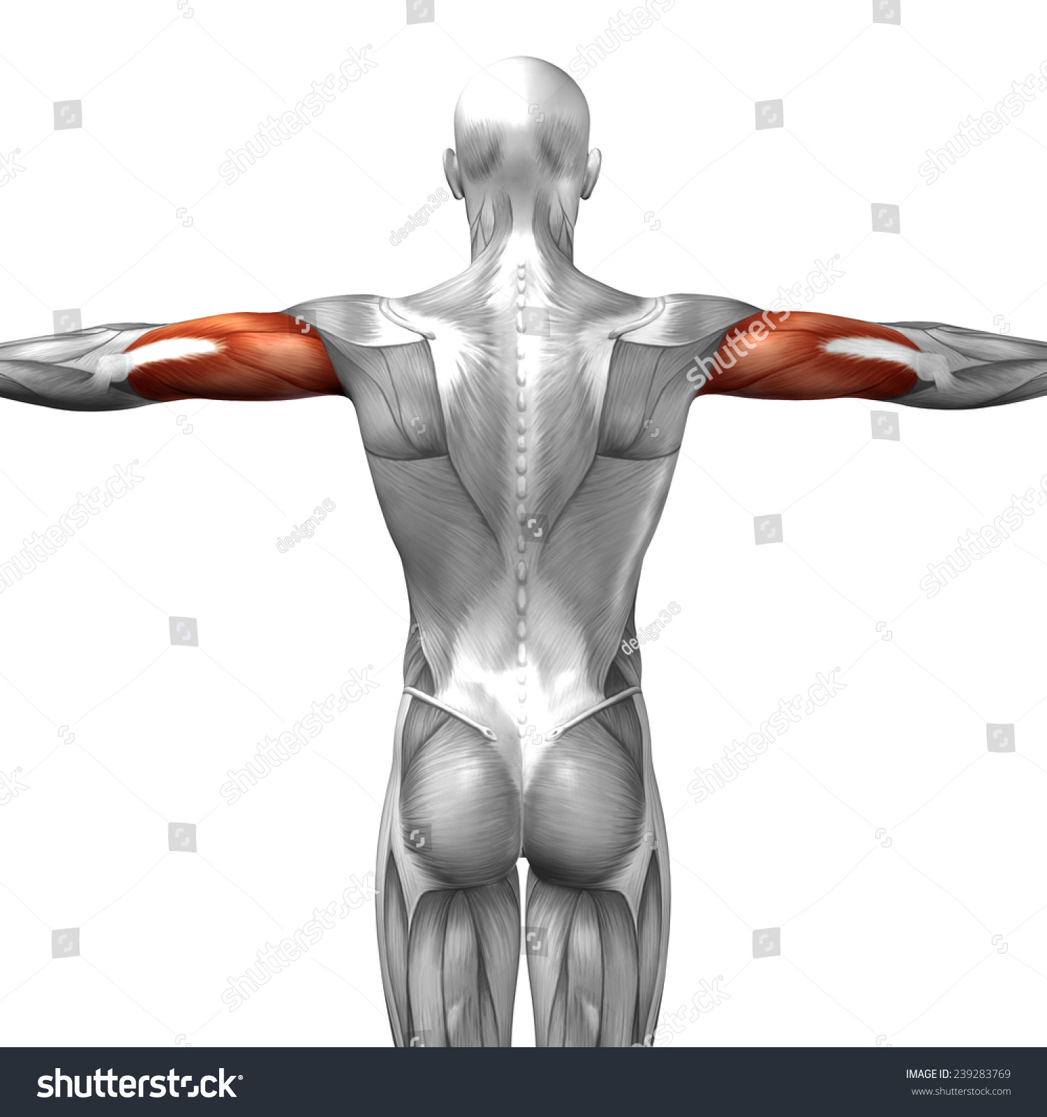 Concept Conceptual 3 D Triceps Human Anatomy Stock Illustration ...