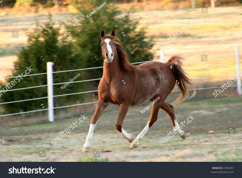 Chestnut arabian horses - photo#17