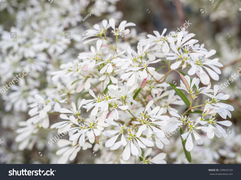Whitelace Lotsyd Euphorbia Flower Stock Photo Edit Now 239643103