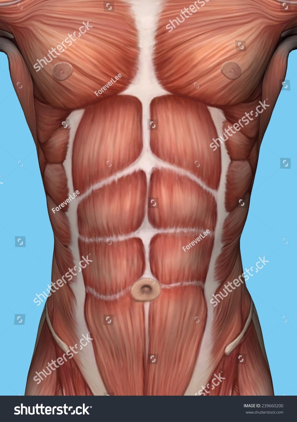 Anatomy Male Chest Torso Featuring Major Stock Illustration
