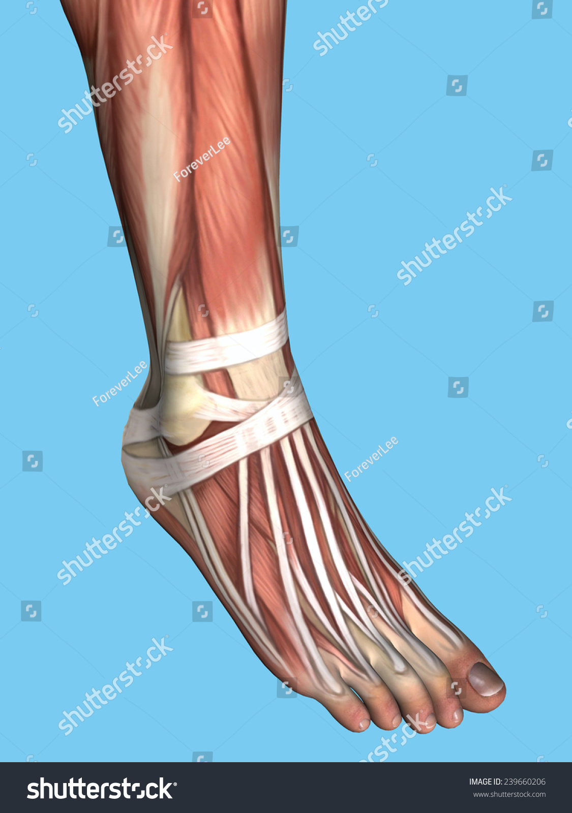 Anatomy Foot Featuring Extensor Digitorum Longus Stock Illustration ...