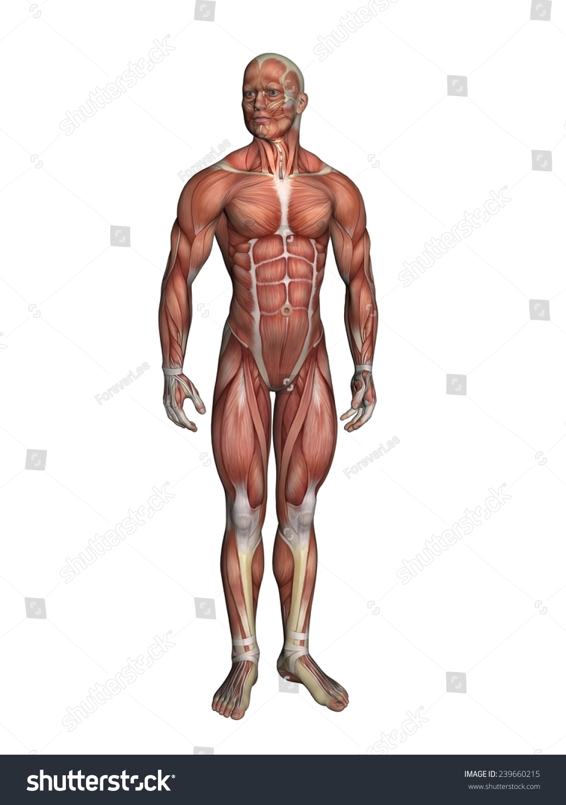 Anatomy Male Figure Featuring Major Muscular Stock Illustration ...