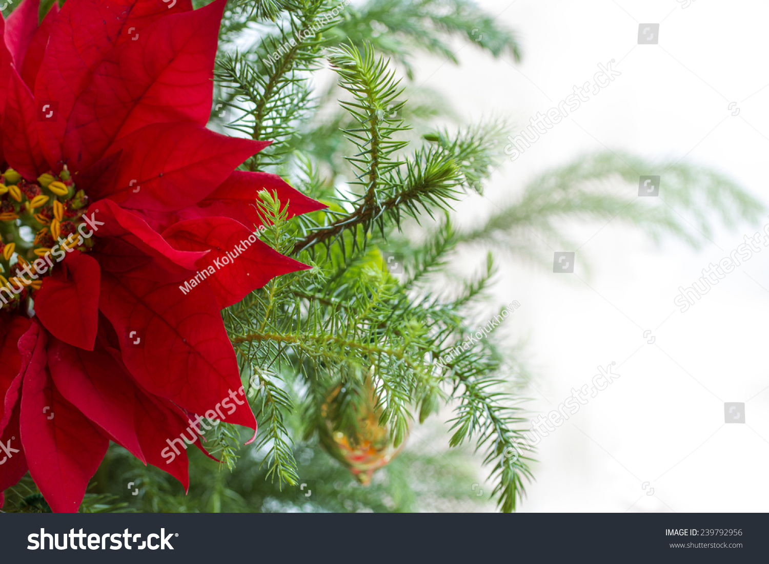 red poinsettia flower christmas decorations christmas tree branch with red poinsettia flower on white - White Christmas Flower Decorations