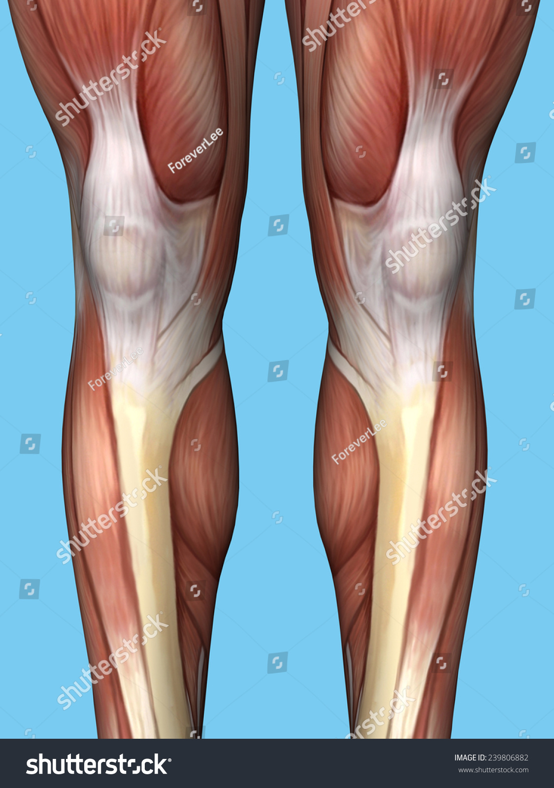 Anatomy Back Leg Featuring Quadriceps Hamstrings Stockillustration