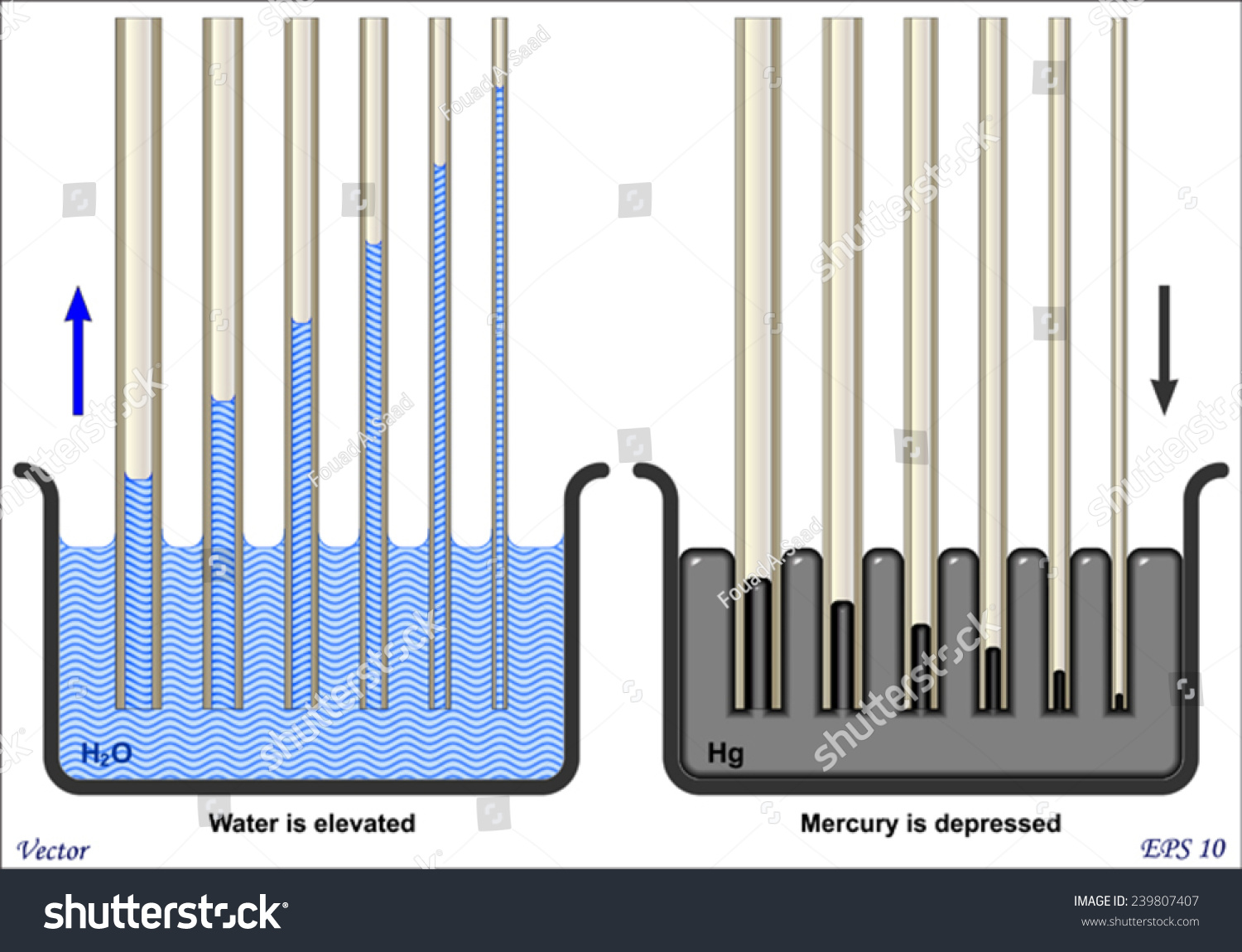 Capillary Action Water Compared Mercury Stock Vector 239807407 ...