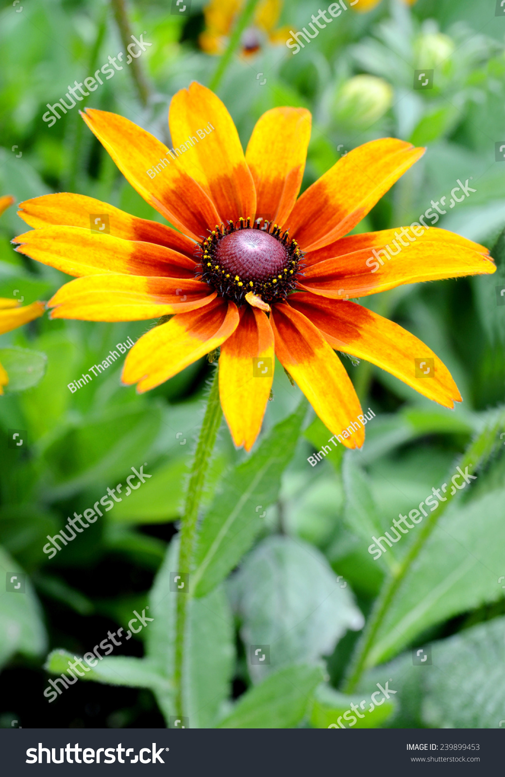 Fall Color Rudbeckia Flowers Susan Black Stock Photo (Edit Now ...