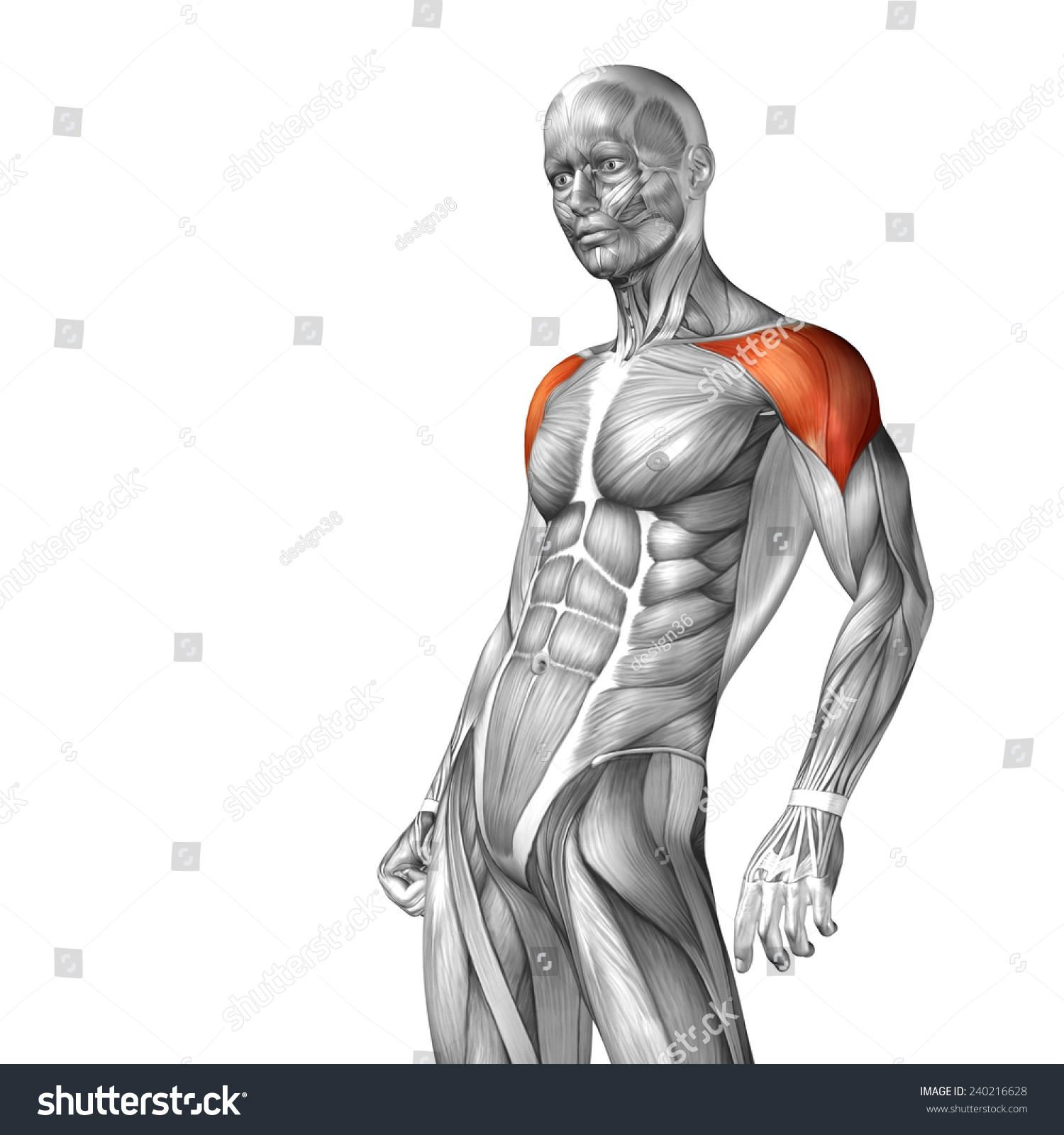 Concept Conceptual 3 D Deltoid Human Anatomy Stock Illustration ...