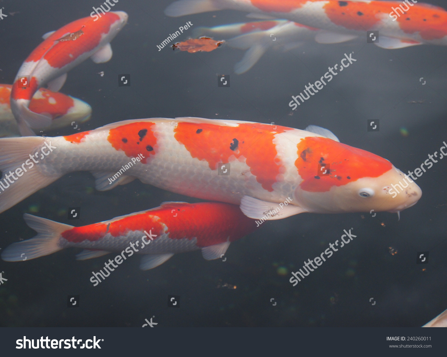Beautiful Color Fish Water Stock Photo (Royalty Free) 240260011 ...