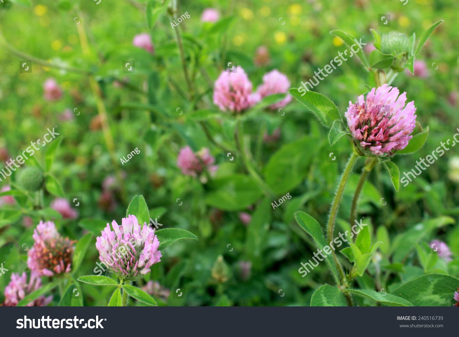 Purple Clover Flower Trifolium Blooms Meadow Stock Photo Image