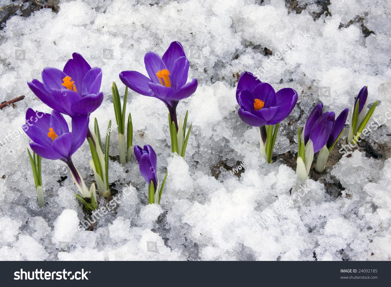 Crocus Flowers Blooming Through Melting Snow Stock Photo ...