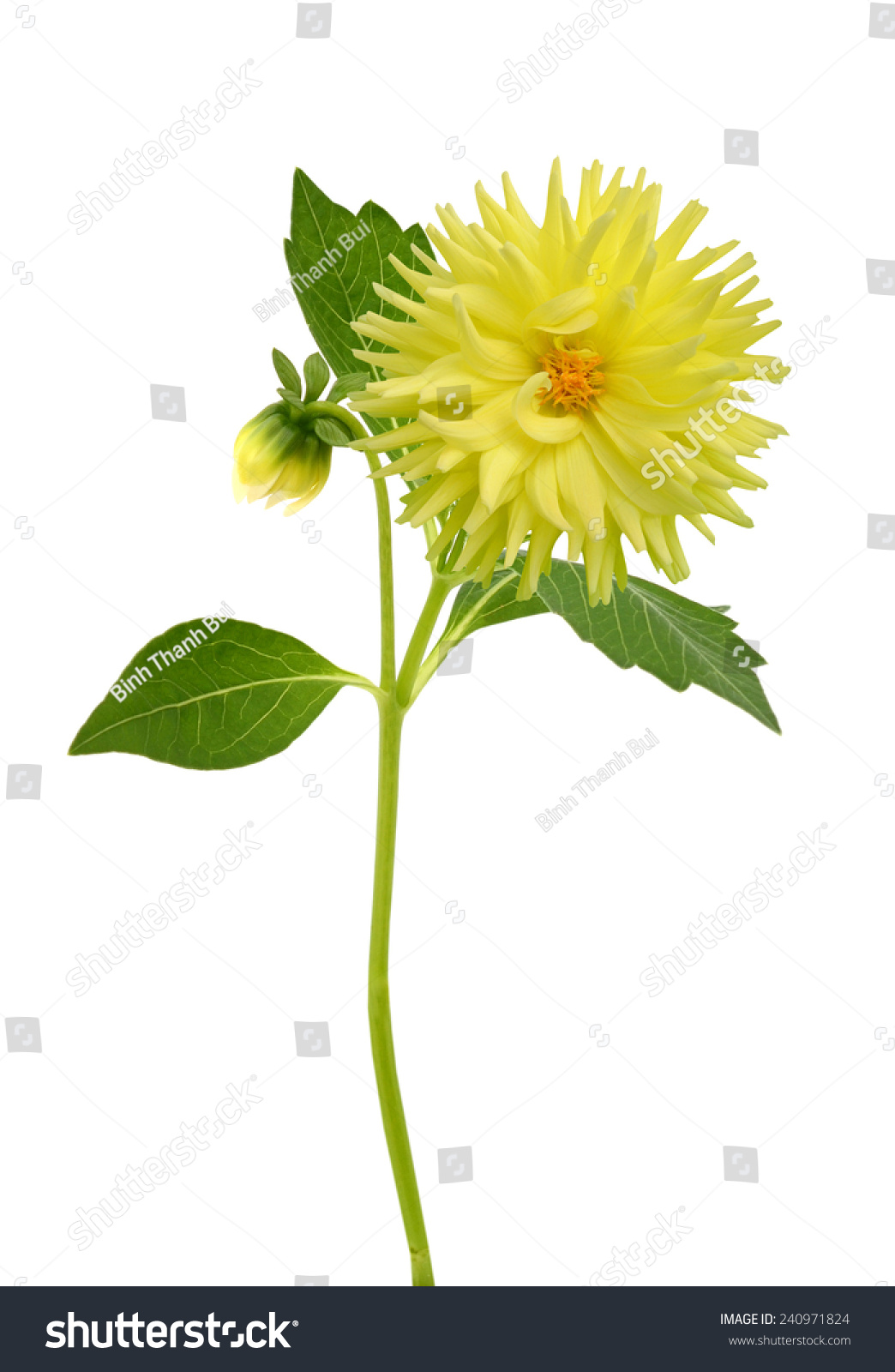 Yellow dahlia flower buds leaves on stock photo edit now 240971824 yellow dahlia flower with buds and leaves on the white background izmirmasajfo