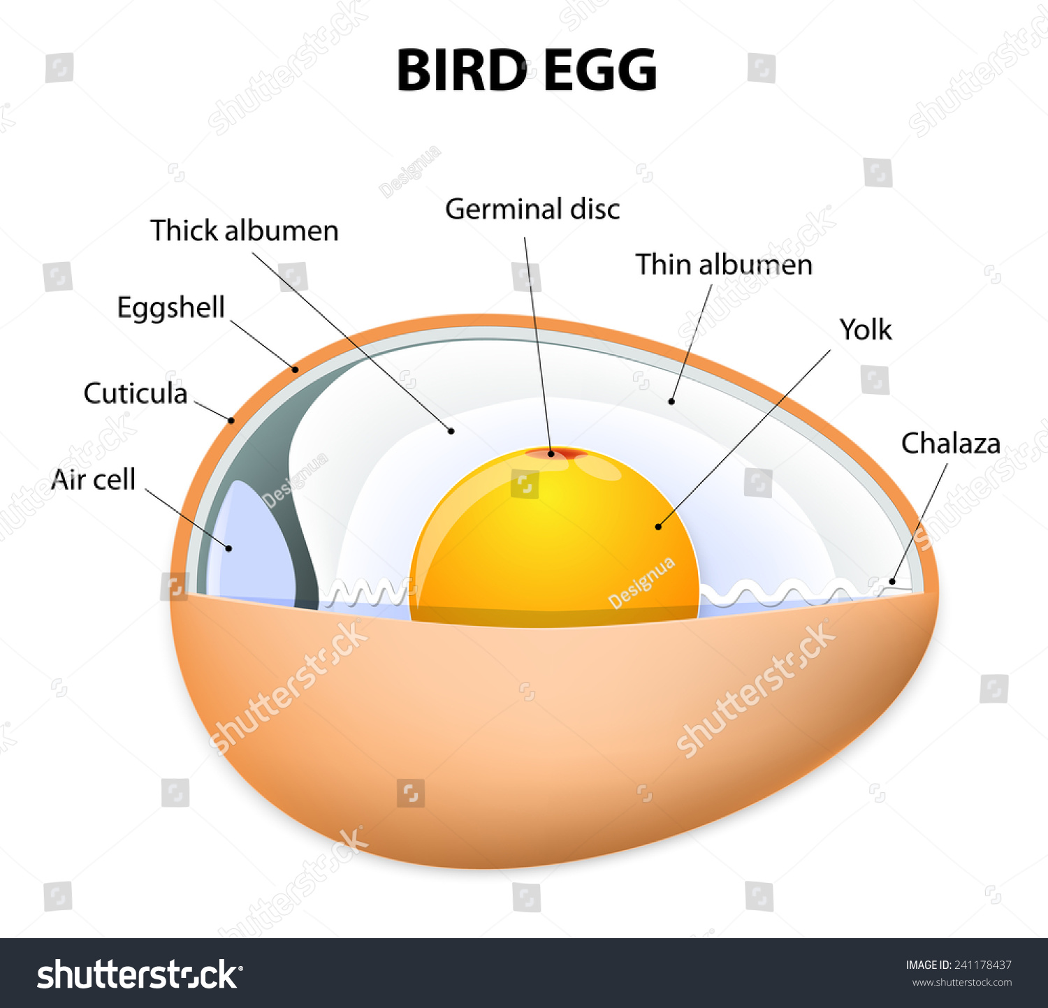 Chicken Egg Structure Bird Anatomy Stock Vector (2018) 241178437 ...