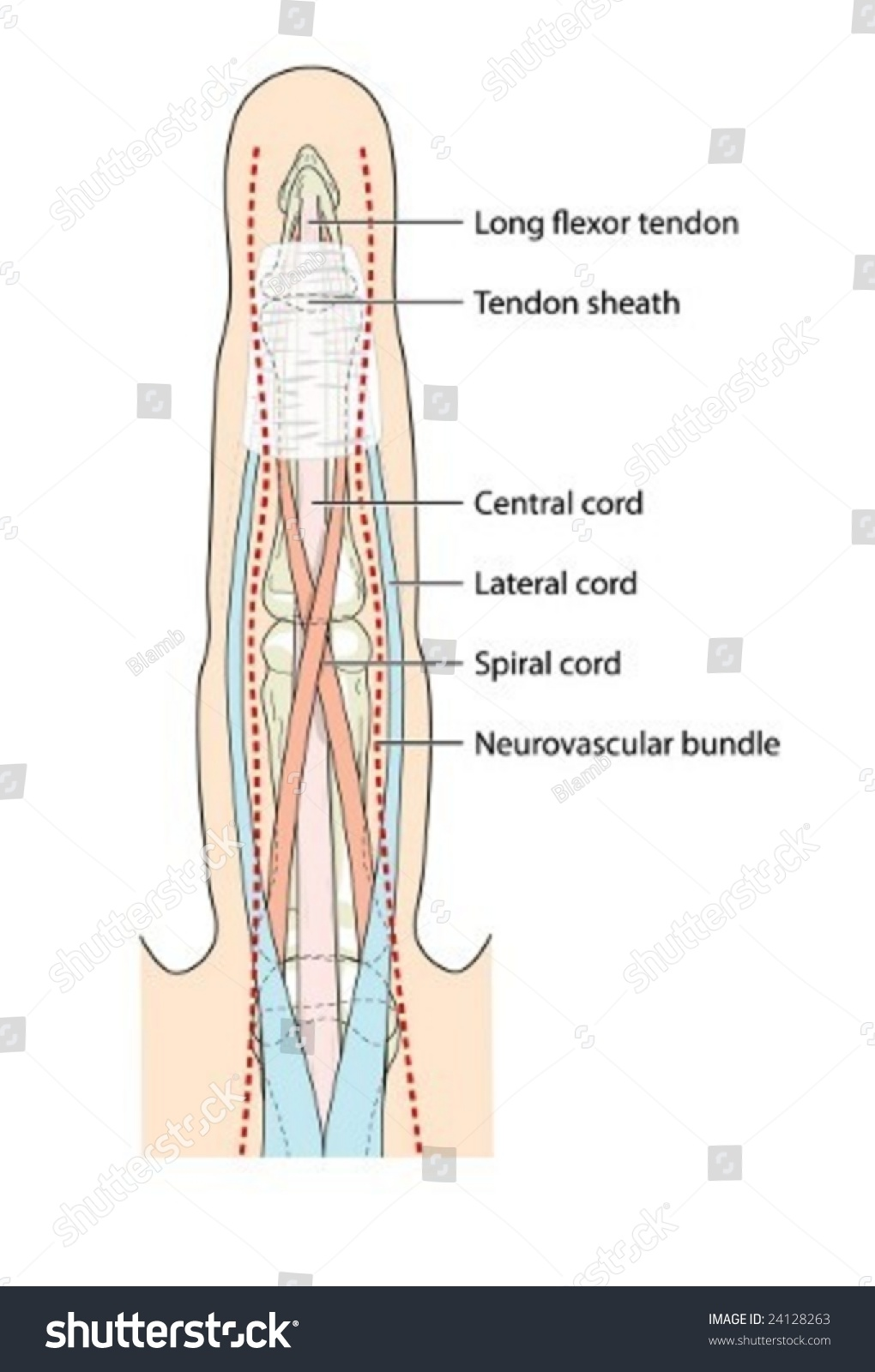 Anatomy Finger Tendons Labeled Stock Vector Royalty Free 24128263