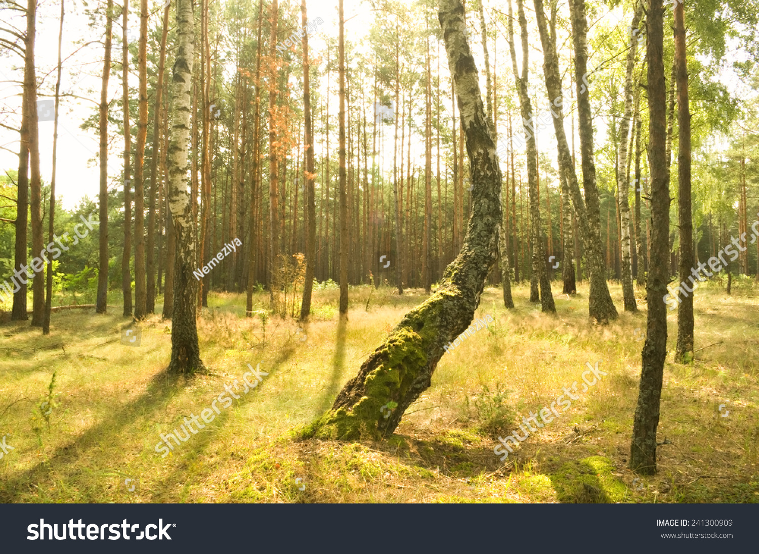 beautiful green forest at morning. Nature composition. #241300909