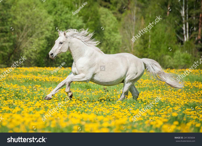 Beautiful White Horse Running On Field Stockfoto Jetzt Bearbeiten