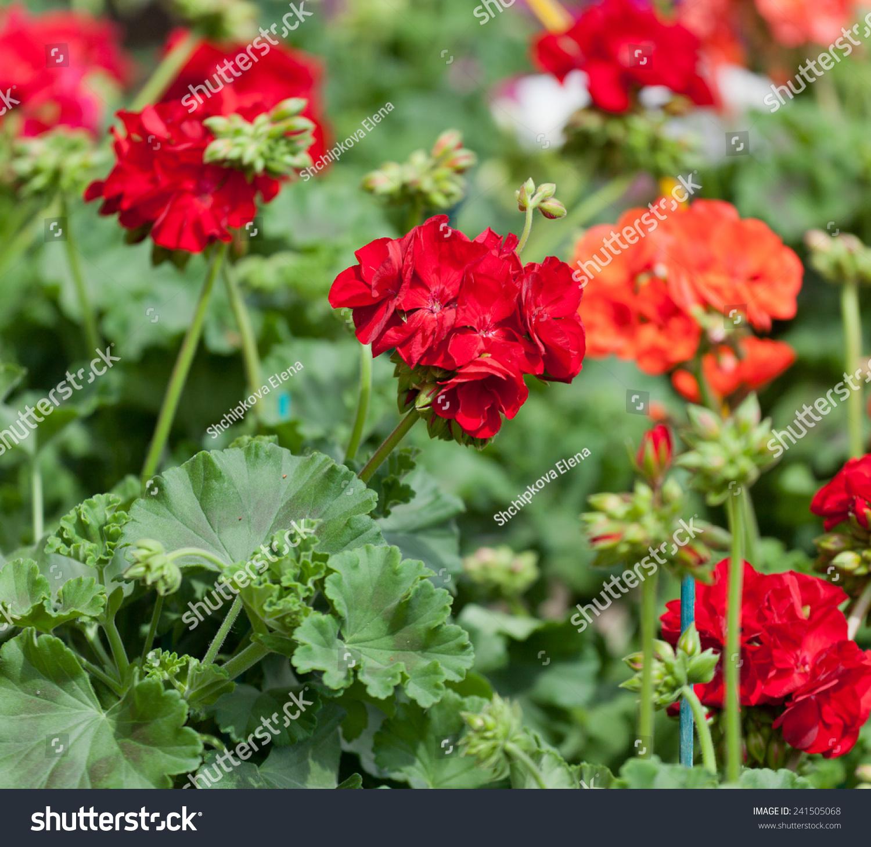 Flowers Of A Red Geranium Close Up Stock Photo 241505068 ...