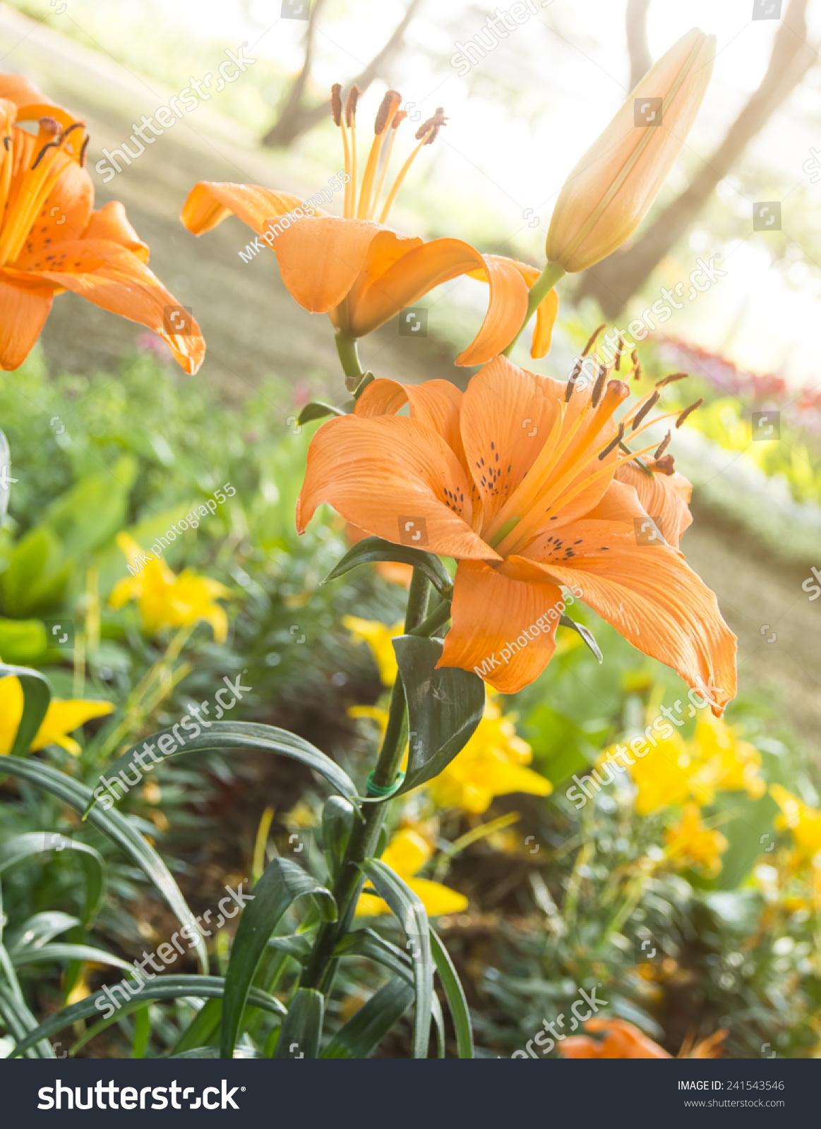 Lily Orange Flowers Garden Morning Sunlight Stock Photo Royalty