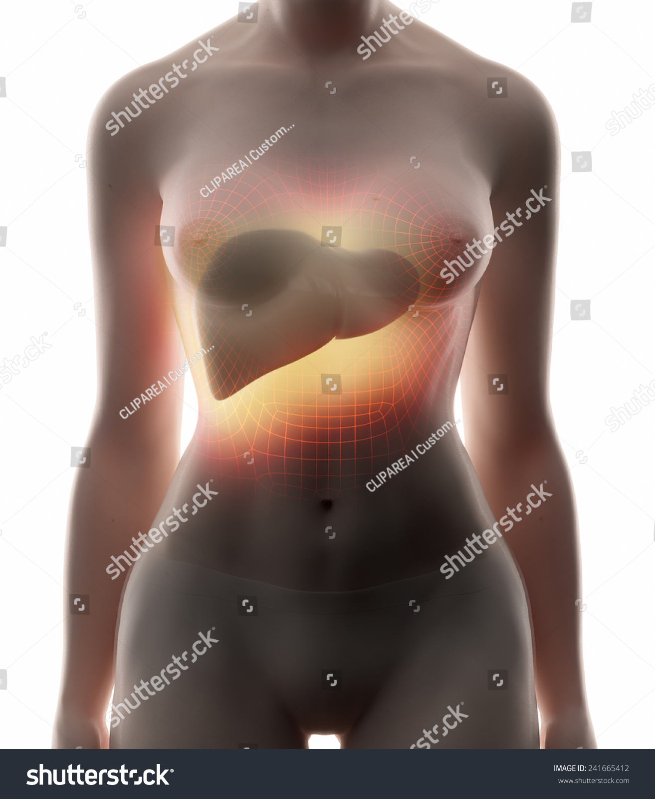 Liver Real View Female Anatomy Concept Stock Illustration 241665412 ...