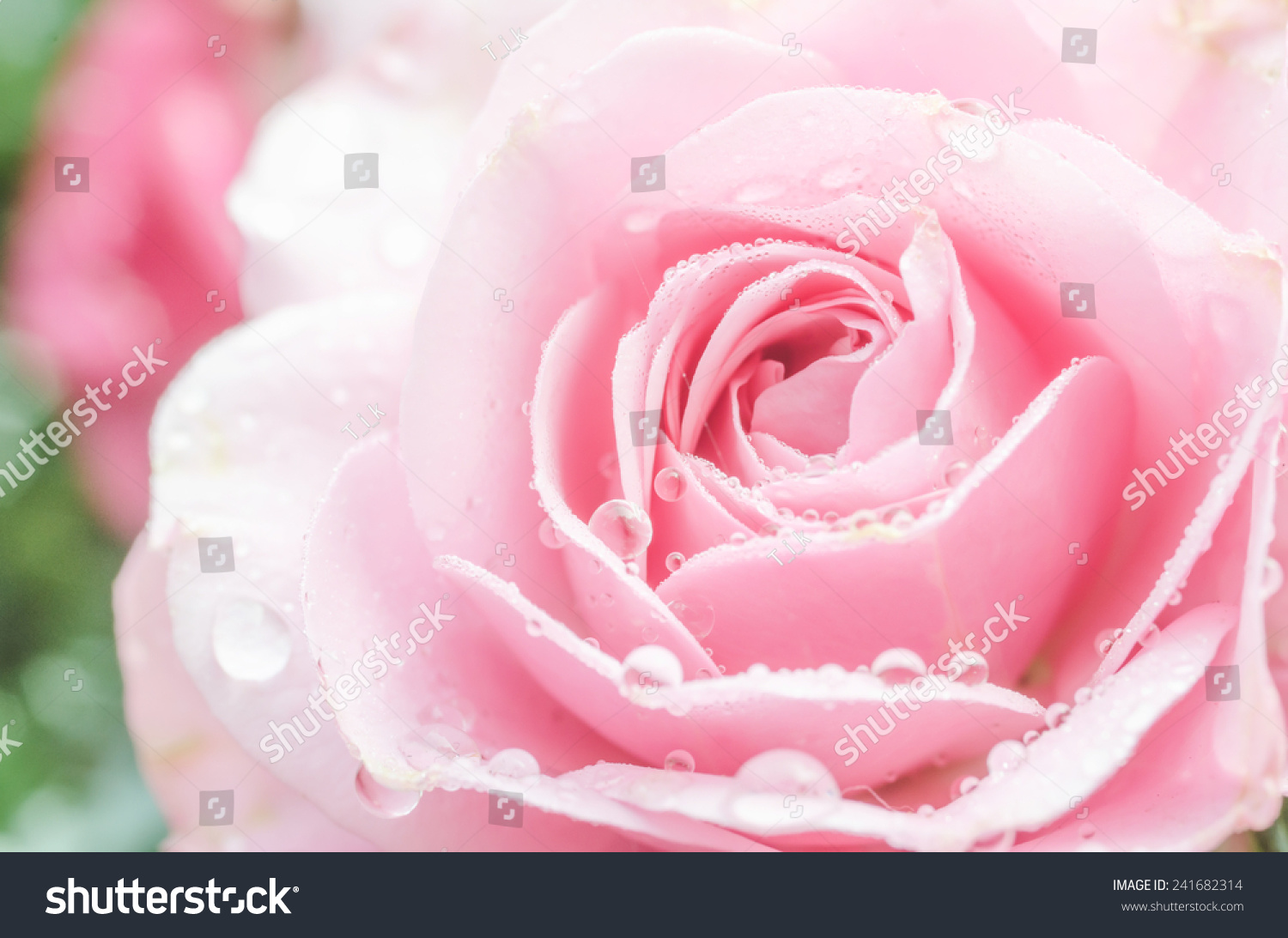 Close up pink rose is so a beautiful ez canvas id 241682314 izmirmasajfo
