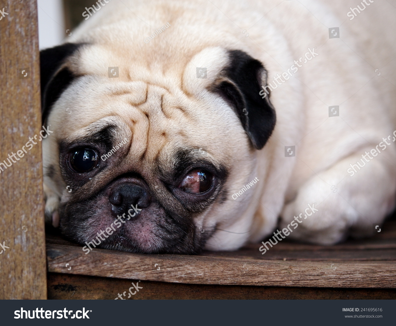 Close up portraits of a lovely funny white cute fat good pug dog close up laying on a wooden chair making sad face outdoor under natural sunlight on a sunny