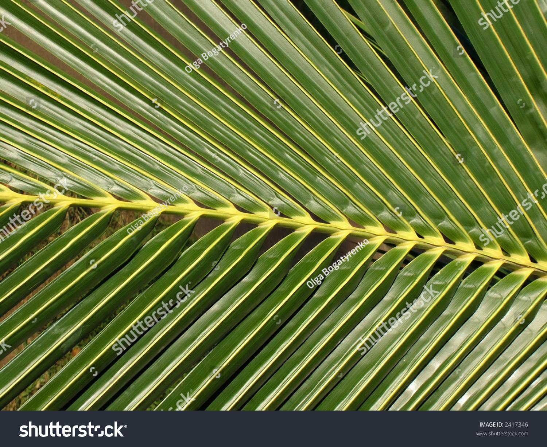 Close Palm Tree Leaf Rich Green Stock Photo 2417346 - Shutterstock