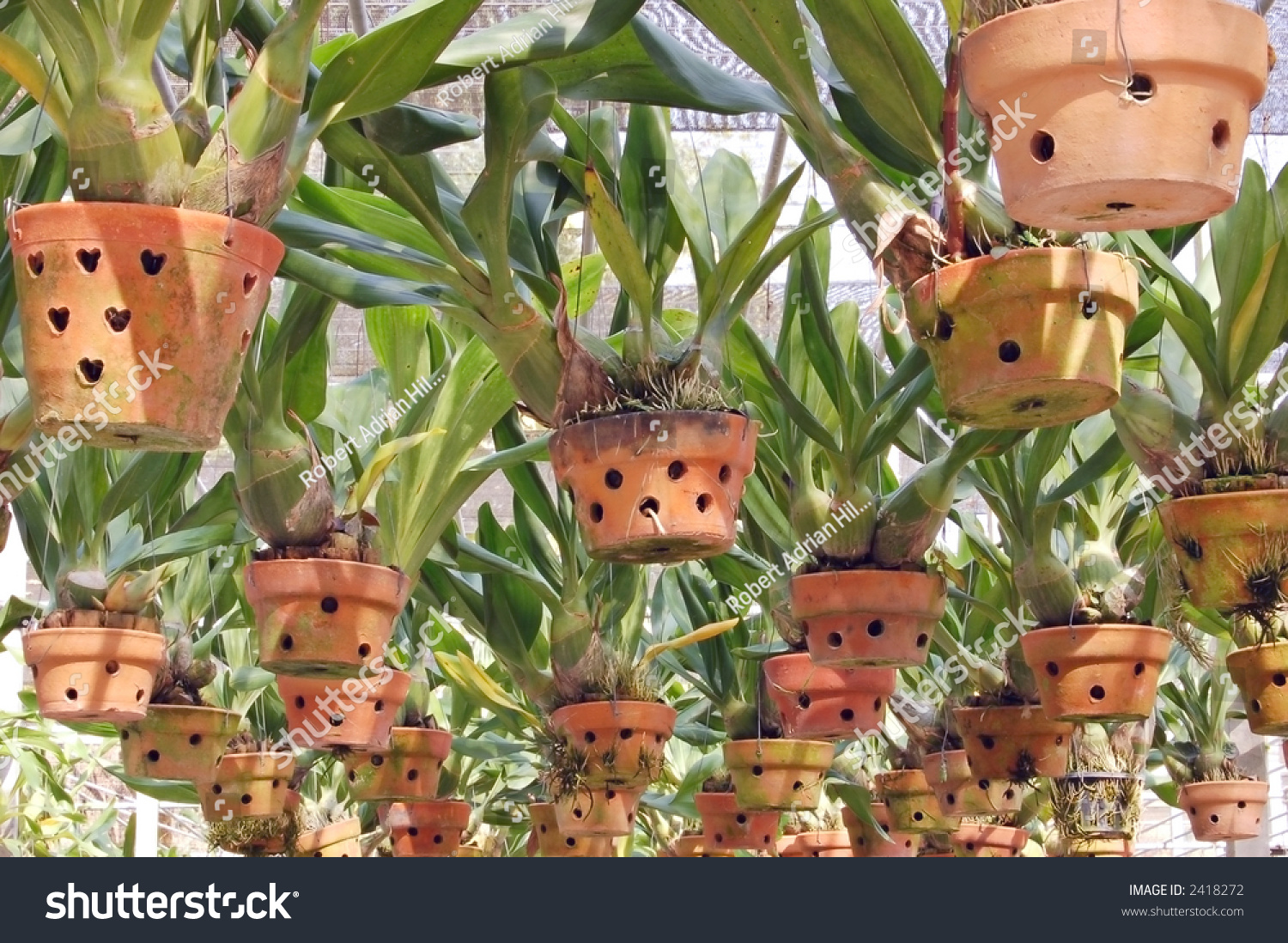 Since The Clay Pots Are Hand Made They Might Drip When First This Will Stip After A While We Remend Before Mounting Orchids You Keep
