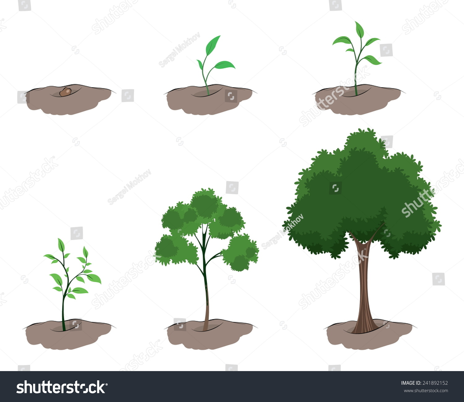 how to grow wattle trees from seed