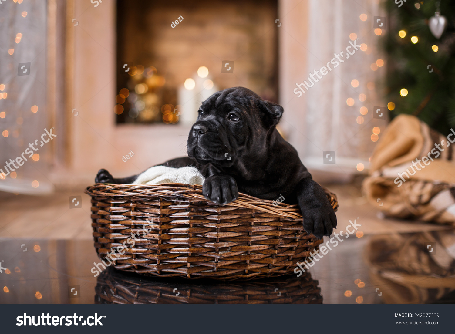 Dog Breed Cane Corso Puppy Portrait Stock Photo Edit Now 242077339