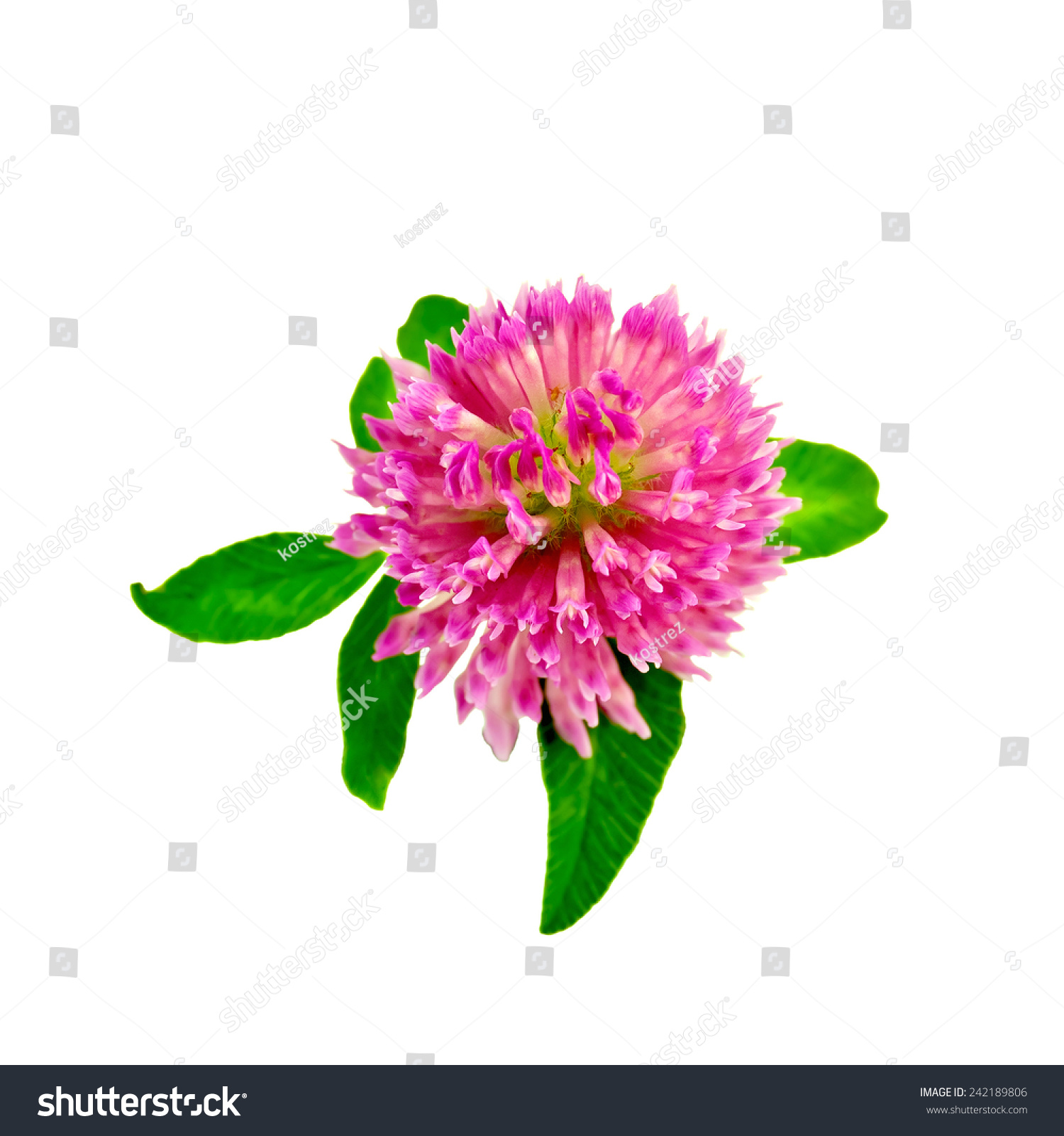 One Pink Clover Flower With Green Leaves Isolated On White